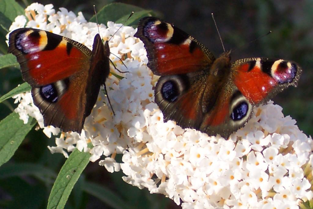 vlinders op bloesem