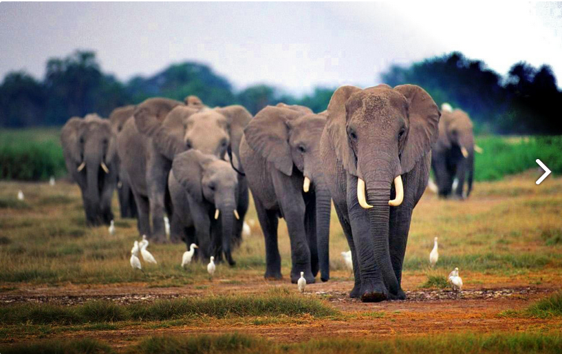 Line of African elephants walking in the savanne